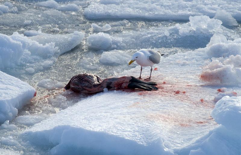 A seagull pecks at a fresh carcass