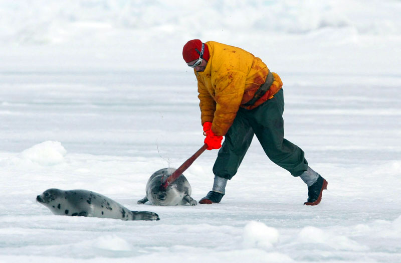 This hunter sprinted across the ice killing many seals as he went