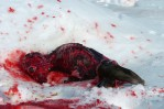 An intact skinned seal