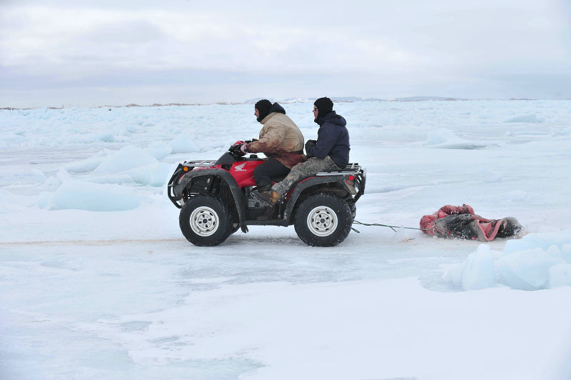 A quad bike draggs pelts to shore