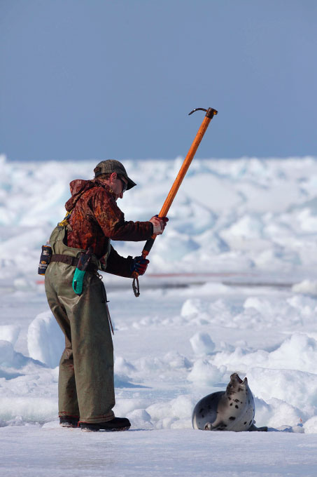 A seal looks up as a hunter clubs it