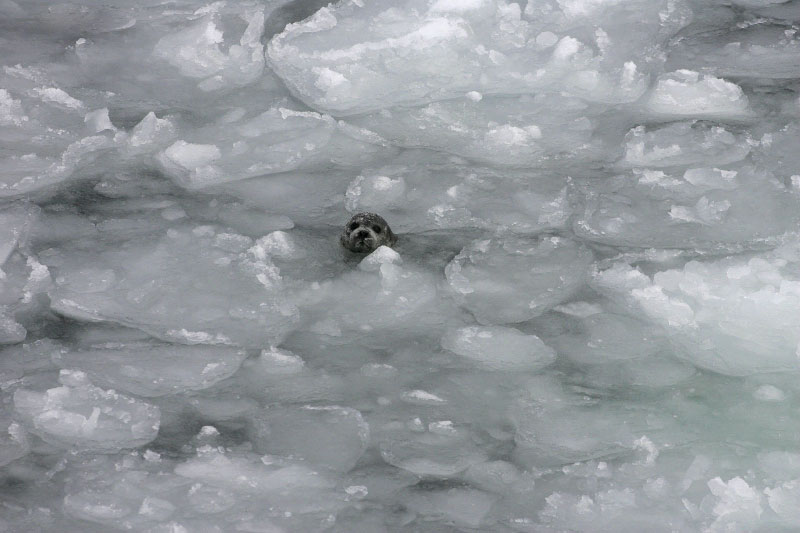 A poor ice year when many seals drowned due to lack of solid ice