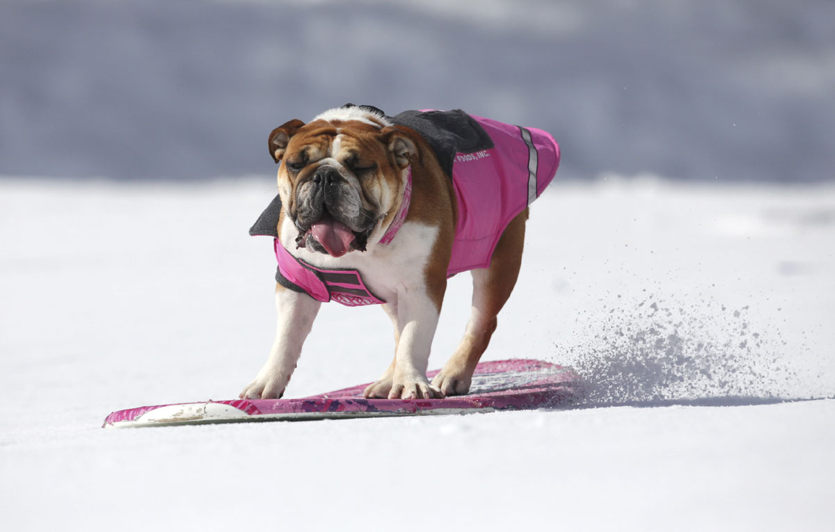 Snow boarding Bulldog for Natural Balance