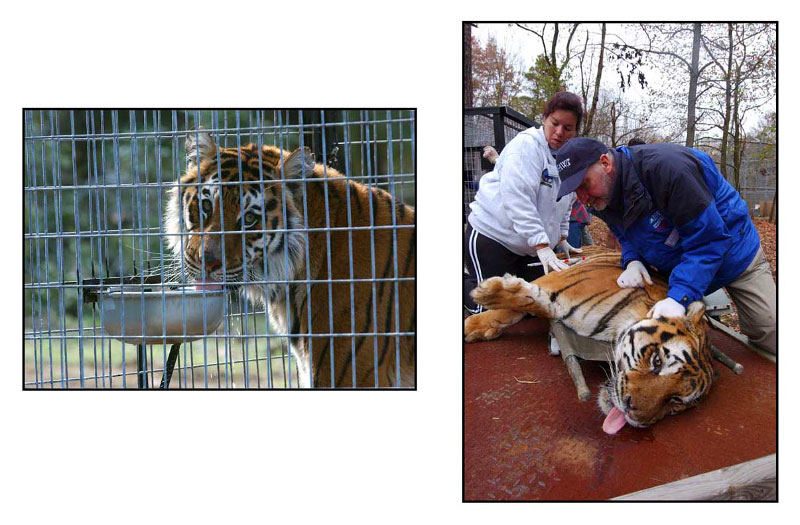 Tiger Rescue, New Jersey: Projects: PHOTOS: Stewart Cook