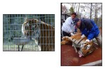 Officials from New Jersey, Police, Swat, Fish and Game as well as Wild Animal welfare groups, moved the 24 tigers from New Jersey to a sanctuary in Texas.