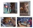 The removal of 25 Bengal tigers from a back garden in New Jersey. The tigers which had become cannibalized were living in small trailers and being fed 'road kill'.