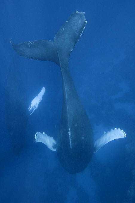 Sleeping humpback