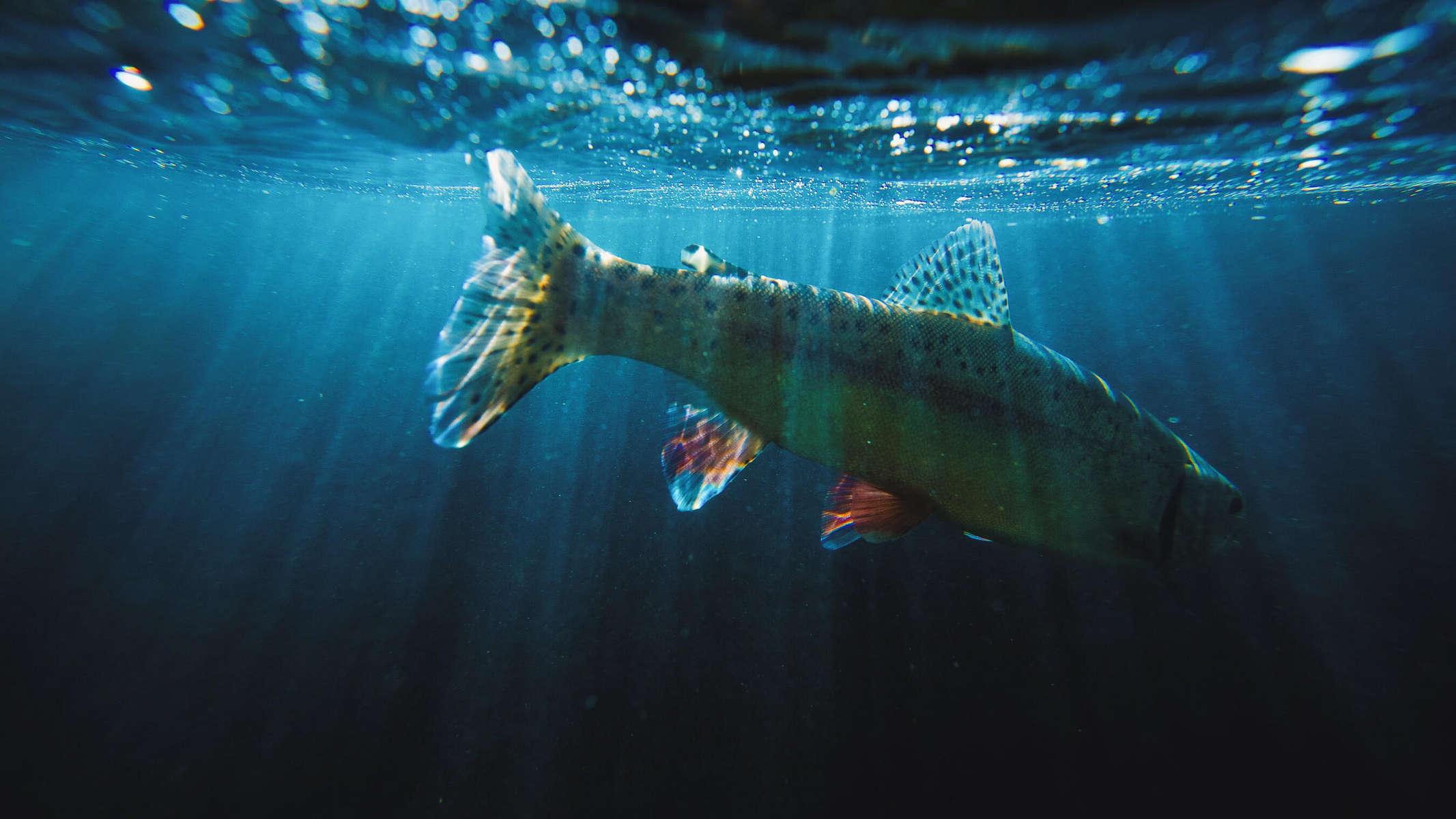 _-wild-rainbow-trout-virginia
