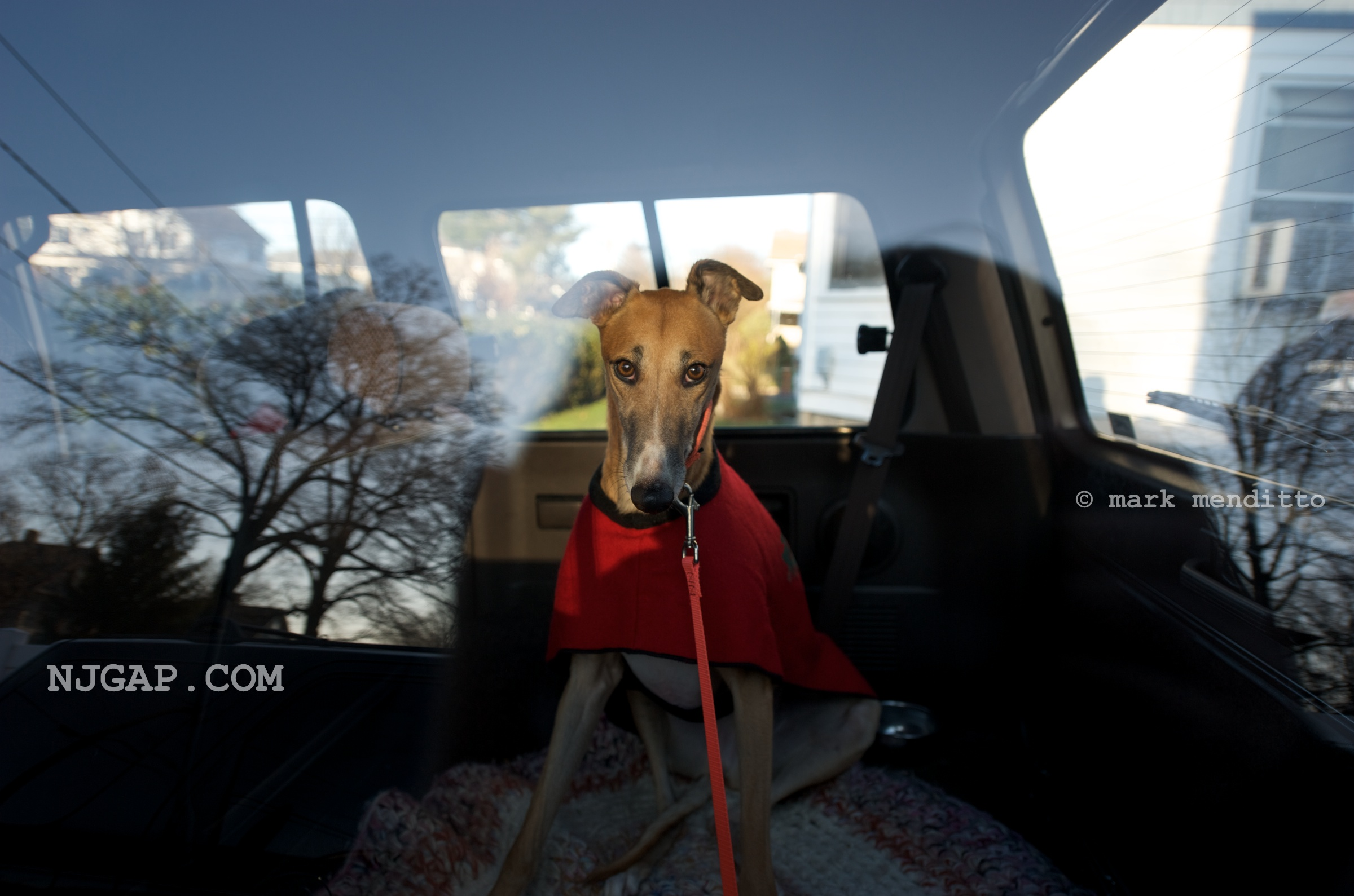 The irresistible, haunting gaze of a greyhound rescue.