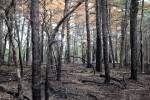 "The New Jersey Pine Barrens is the setting for the end of the photographic journey for greyhound rescue adoption ""Bella."" (GR-0762) © mark menditto"
