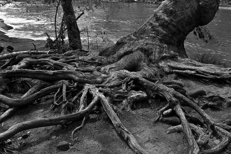 I photographed this old tree in Arizona in March of 2005, not long after a flood had passed through this area.  I was awestruck by this tree's resilience and how it thrived with so much of its root structure exposed, clinging to the bank of the river shown in the background.