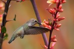 Darting around, more like large insects than birds, humming birds can be a challenge to photograph.  Fortunately, they are rather still while they feed, as was this bird when I made this exposure.  Frozen in time, the delicate structure of the head and body feathers, depicted in crisp detail, are offset by the soft pink blossoms on the right, giving us an extended glimpse into the lives of these amazing little birds.