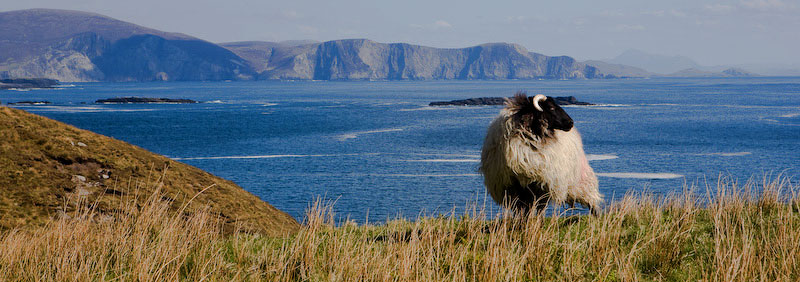 Achill Island, IrelandA majestic looking ewe peers out over the Atlantic on the edge of a cliff with Clew Bay in the background.