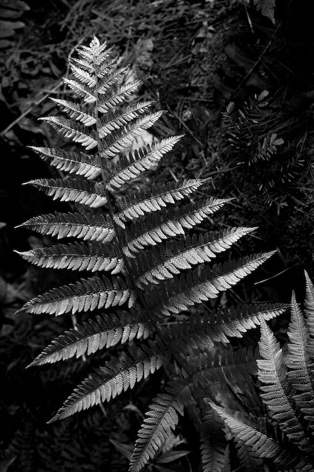 Beaver Brook, Hollis, New HampshireYou may not give a second thought to this fern as you walk by (photographed here in Hollis at the Beaver Brook Association).  But a closer look reveals the wonderful structure of the leaves, rendered in sharp detail and enhanced by the contrast in lighting.