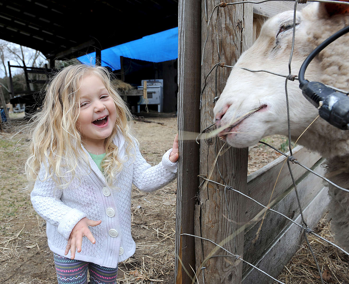 2/29/16--FRAMINGHAM--  Abby Hanson, 3, the sixth generation of Hansons at Hanson Farm, feeds hay to a sheep. {quote}One of the great reasons to try and save as much open space as we can is so when Abby grows up there'll be something for her generation as well,{quote} said Tom Hanson, chairman of  Framingham Agricultural Advisory Group.Daily News and Wicked Local Staff Photo/Art Illman
