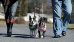 3/3/16-- FRAMINGHAM-- Marky, left, and Beanie, were dressed for the weather in sweaters with their owners, Donna and Tom Travers, out for a walk Thursday on Karal Drive.Daily News and Wicked Local Staff Photo/Art Illman