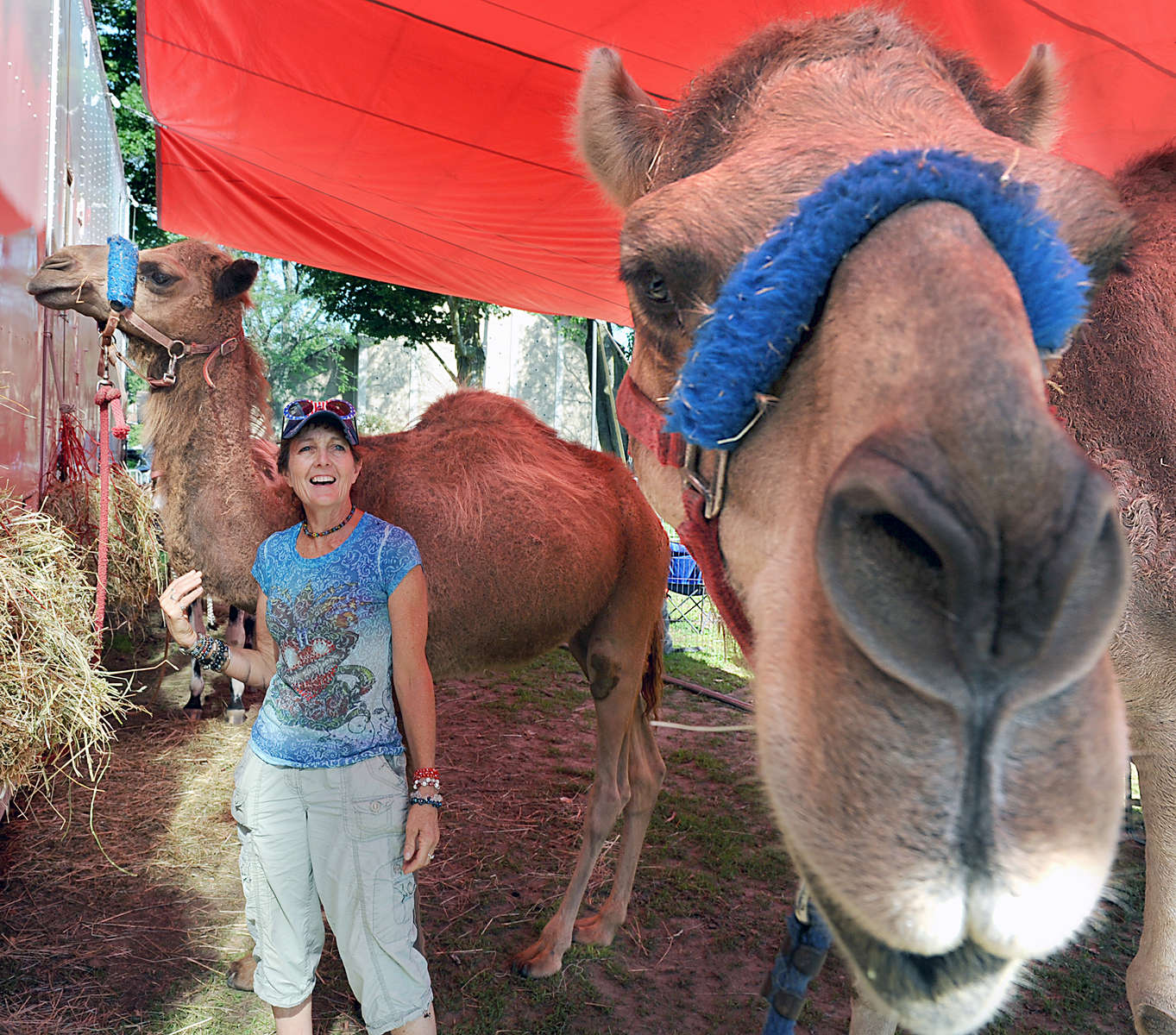 7/3/17-- FRAMINGHAM-- Framinham native Carolyn (Convery) Rice, with dromedary camels Khan, right, and Sulimon, has been with he circus for 30 years. The Kelly Miller Circus is performing in the St. Stephen Parish School parking lot with shows Monday at 4:30 p.m. and 7:30 p.m. and Tuesday at 3 p.m. [Daily News and Wicked Local Staff Photo/Art Illman]