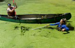 7/10/17-- SUDBURY--  Amanda Zareck, left, of Mansfield, a Sudbury U.S. Fish and Wildlife Service Invasive and Aquatic Weed Harvester Intern, and Gabby Dalfonso of the Sudbury U.S. Fish and Wildlife Service, hand pull water chestnuts from the Stearns Mill Pond Monday. [Daily News and Wicked Local Staff Photo/Art Illman]