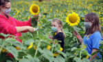 8/31/2020-- FRAMINGHAM-- At Hanson's Farm, Brenda Fraher, of Framingham, cuts sunflowers Monday afternoon with Audrey, 12, and Gretchen, 10. [Daily News and Wicked Local Staff Photo/Art Illman]