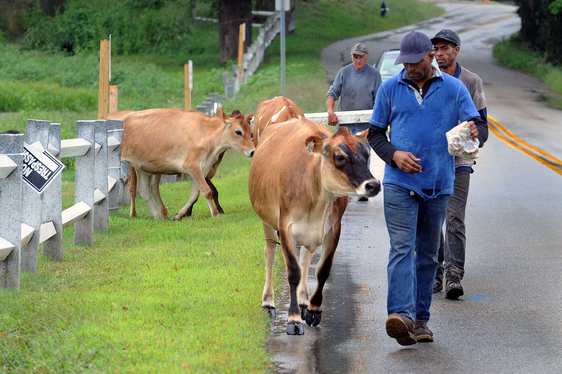 9/2/20-- FRAMINGHAM--  Eastleigh Farm cows are escorted back home after taking a walk by themselves to the Millwood Preserve condo project on the former Millwood Golf Course on Millwood Street Tuesday. [Daily News and Wicked Local Staff Photo/Art Illman]