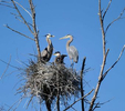 5/20/20-  Great blue herons nesting in a swamp off the Sudbury River in Framingham. [Daily News and Wicked Local Staff Photo/Art Illman]