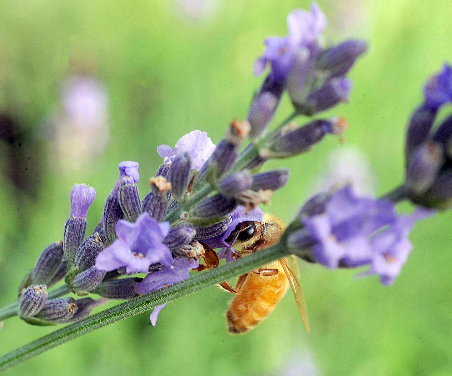 7/17/20--A honeybee on a lavender plant at Hudson Hives in. Hudson, MA [Daily News and Wicked Local Staff Photo/Art Illman]