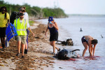 After conducting a necropsy volunteers and staff from NOAA, FWC, MMC wash bloodied hands in the Gulf of Mexico on a dead pilot whale Wednesday, Dec. 4, 2013 at Highland Beach in The Everglades of Florida. Six dead pilot whales were found earlier today in a remote part of the park, part of a pod of 51 whales facing an uncertain future. Four pilot whales have had to be euthanized. Federal biologists report that 46 pilot whales are alive and swimming free.