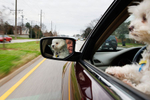 Robert Perrine, 67, drives with Lucy, his maltese, en route to lunch Dec. 14 in Virginia Beach, Va. After speding over 35 years as a civilian for the U.S. Army Corps of Engineers in Washington D.C., he retired with his wife Barbette of over 20 years. He spends most of his time volunteering at Westminster-Canterbury retirement home, Thalia Lions Club and Old Donation Episcopal Church.