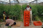 An Israeli settler digs throe cherry tomatoes as a Palestinian worker takes a moment to pray in the green houses of Neve Daklim in Gush Katif settlement block, Gaza.