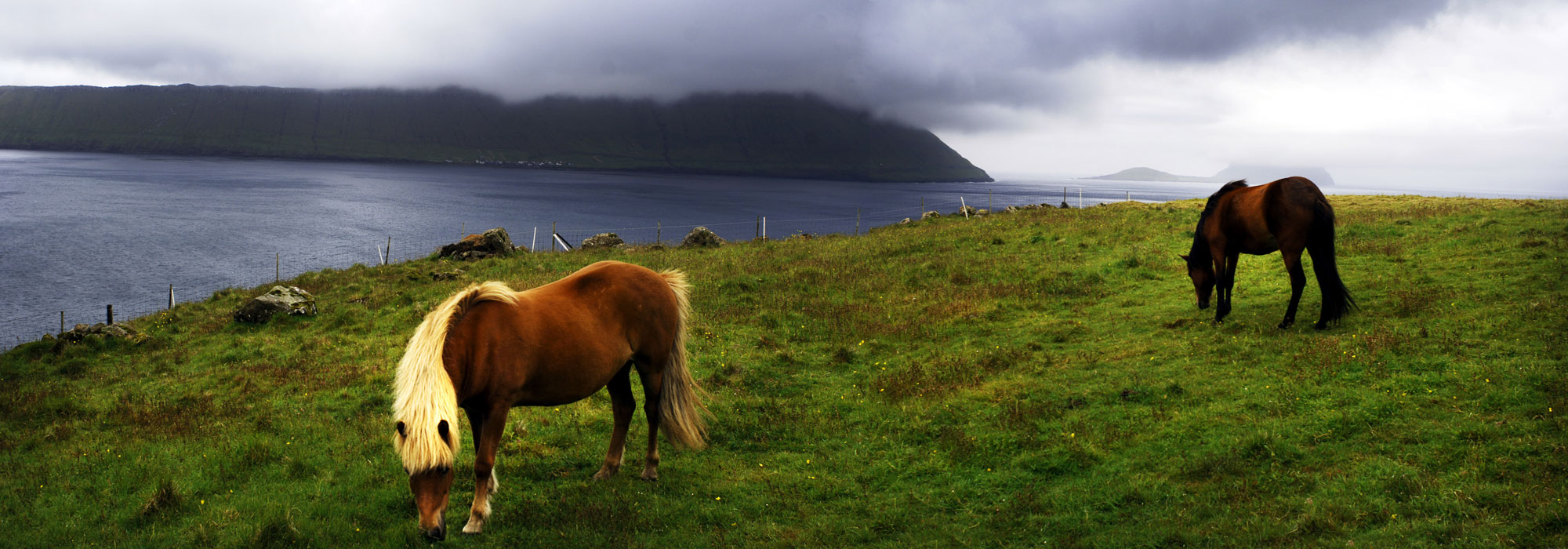 Horses eat grass in the Southern part of Streymoy Island of the Fare Islands. Icelandic horses are the common breed of horses in the Faroe Islands.