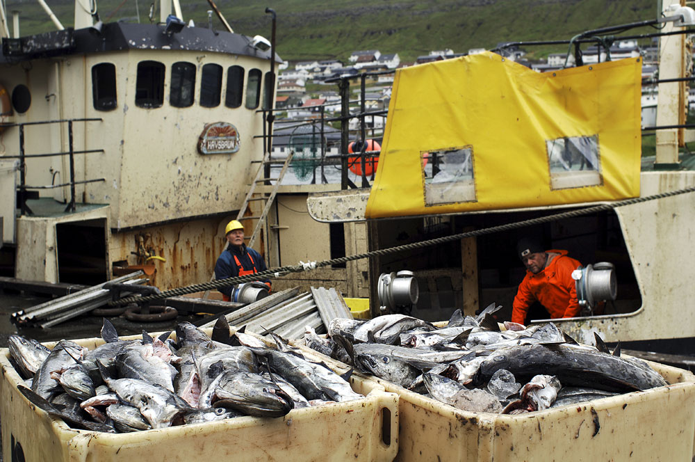 A fishing boat  unloads it's catch at the dock of  Maru Seafood fish factories in Klaksvik the second largest city in the Faroe Islands. The economy of the Faroe Islands is overwhelmingly dependent upon fisheries.