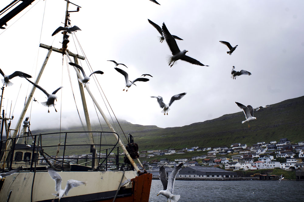 Seagulls hover over a fishing boat at the dock of  Maru Seafood fish factories in Klaksvik the second largest city in the Faroe Islands. The economy of the Faroe Islands is overwhelmingly dependent upon fisheries.