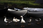 Ducks take a break next to a  fishing boat at the dock of just outside of Tortshvan the largest city in the Faroe Islands.