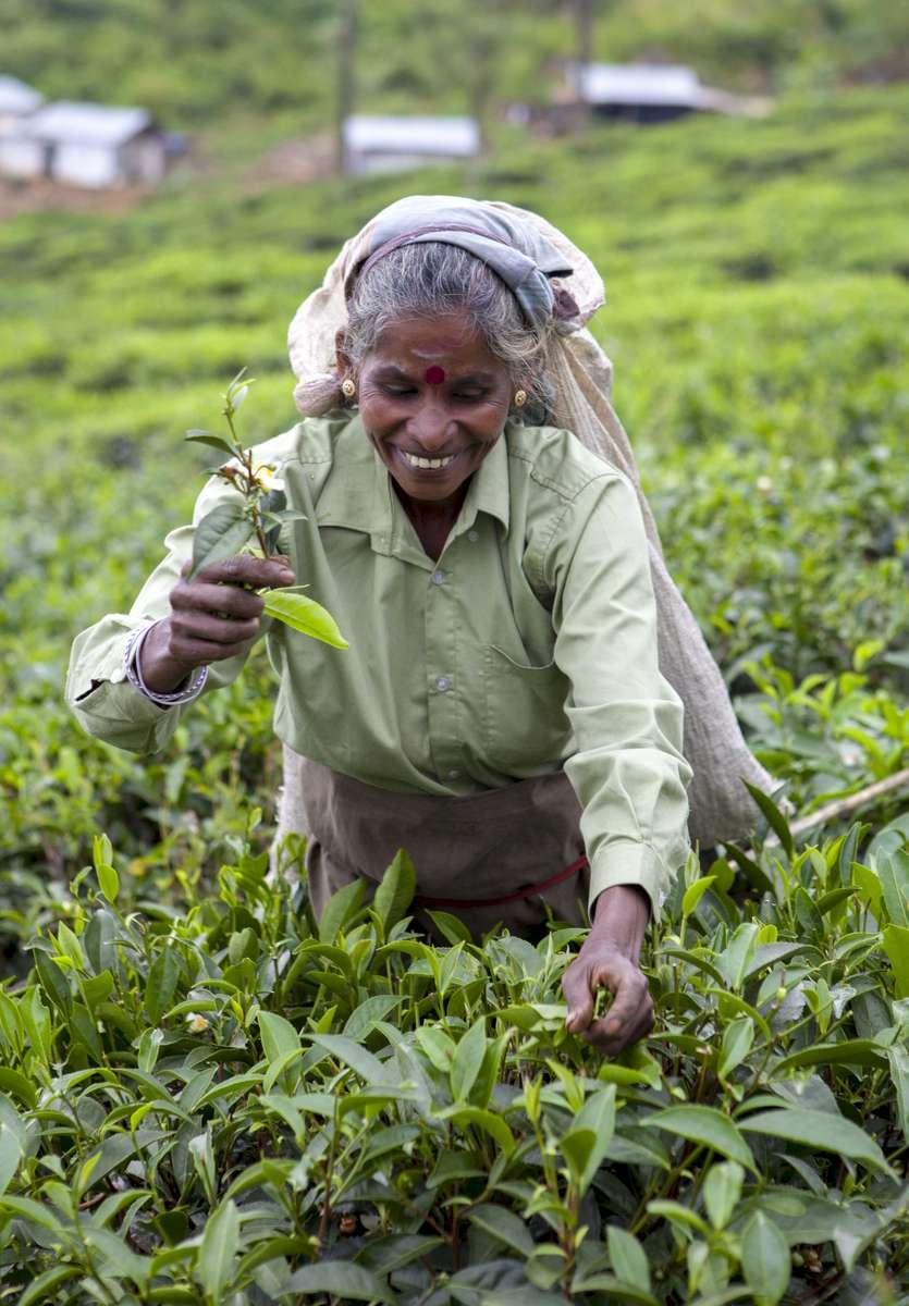 Tea Plucker  Nuwara Eliya