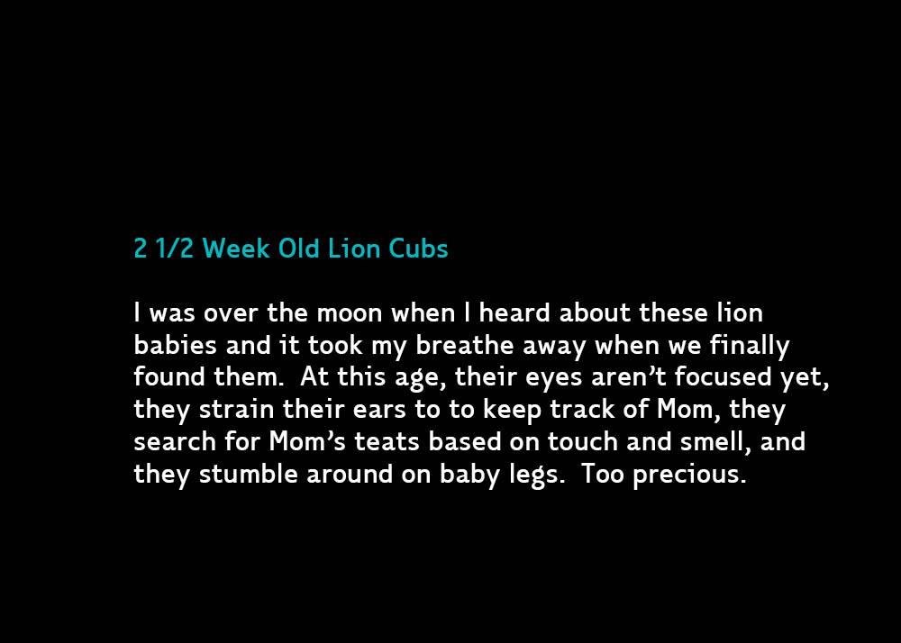 1-2week-lions