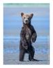 Coastal brown bear, Alaska June 2017