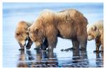 Coastal brown bears, Alaska June 2017