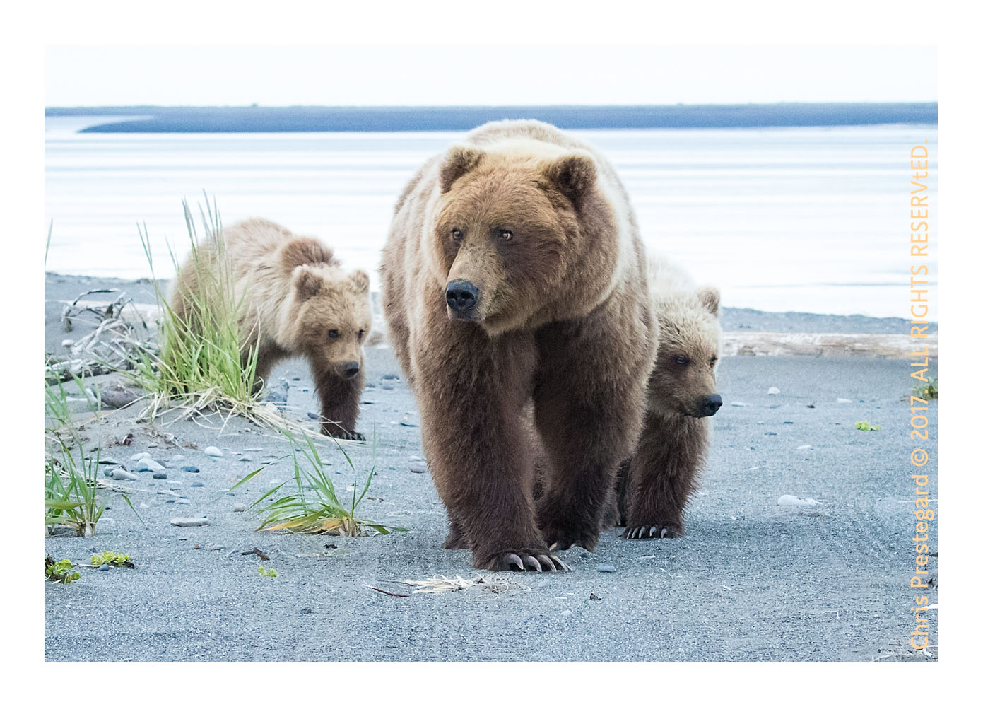 Coastal brown bears, Alaska June 2017