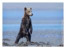 Coastal brown bear, Alaska June 2010