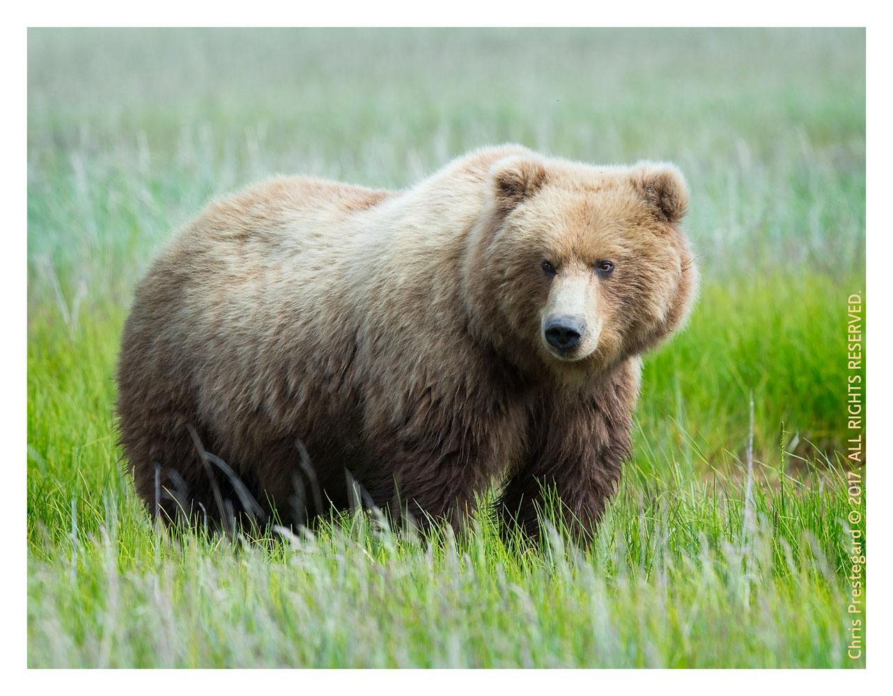 Coastal brown bear, Alaska June 2017