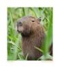 Capybara4233_Aug20-09