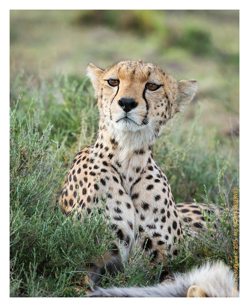 Cheetah 1211