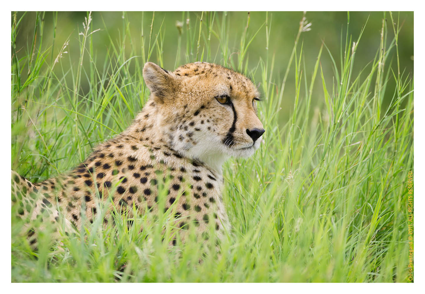 Cheetah1220C_Apr21-2011