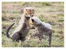 Cheetah 1338