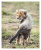 Cheetah 1525