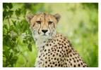 Cheetah1528B_Apr21-2011