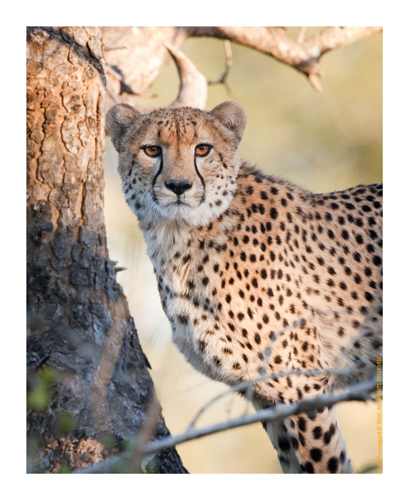 Cheetah176Look_Aug18-2010