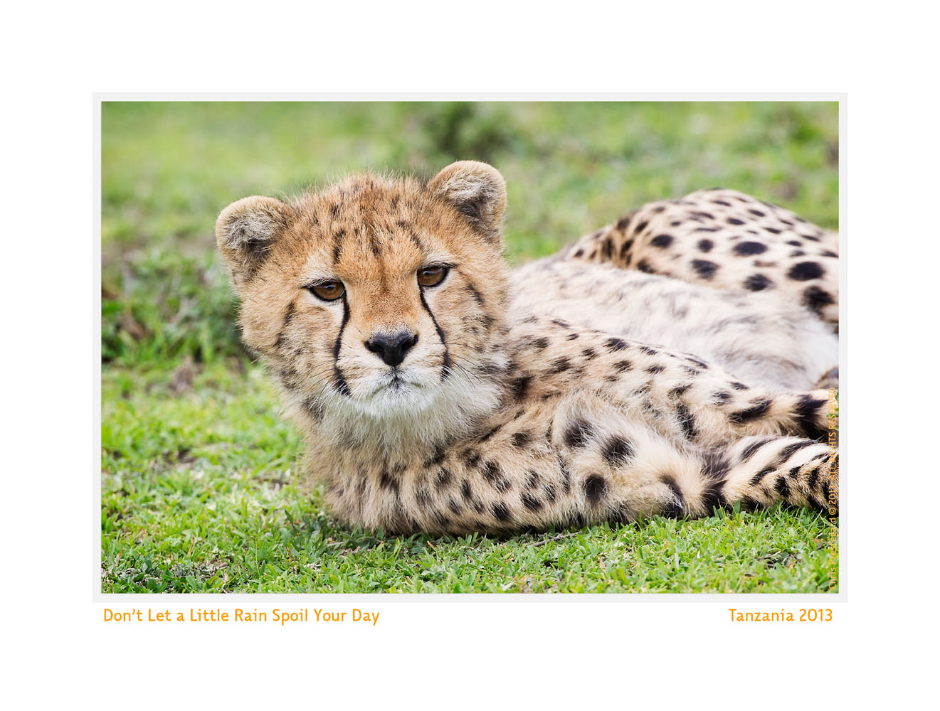 Cheetah2265-Oct7-2013