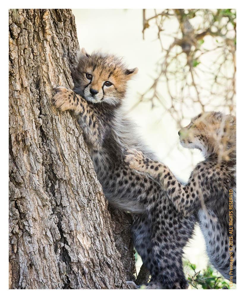 Cheetah2696