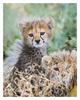 Cheetah 2794